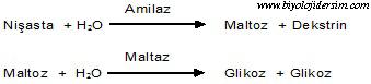 enzimler takım halinde çalışır
