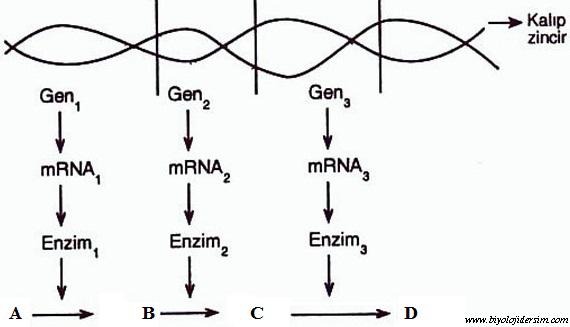 gen-enzim hipotezi
