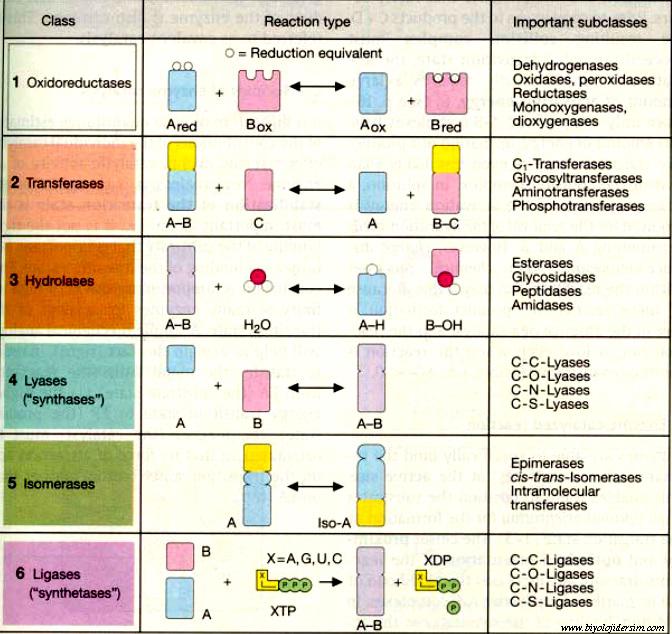 enzimlerin sınıflandırılması