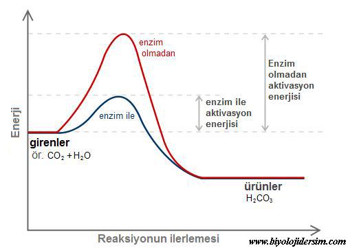 enzim aktivasyonu