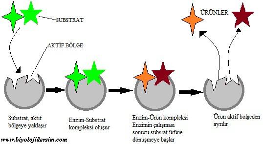 enzimlerin çalışma mekanizması