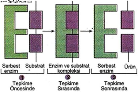 enzimlerin çalışması