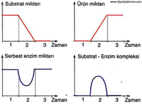 enzim çalışması grafiği