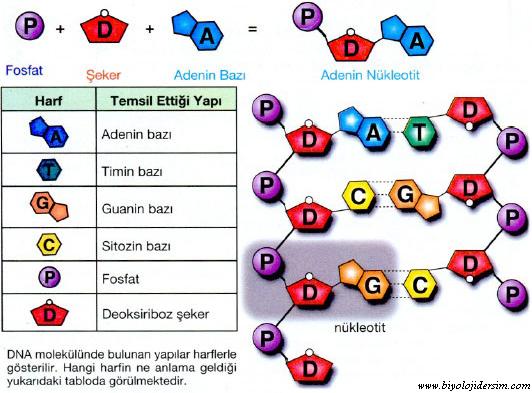 nükleotit monomerleri