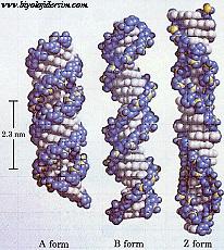 DNA çeşitleri