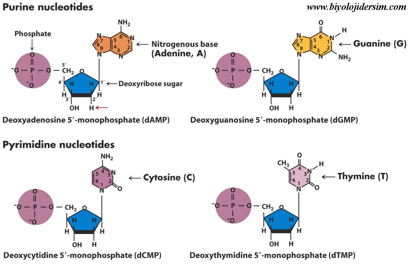 nükleotitlerin yapısı şema