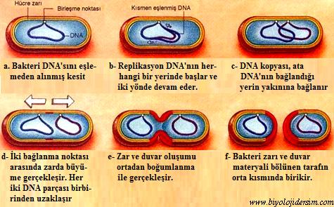 bakterilerde bölünme