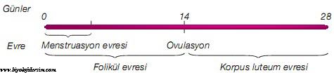 menstrual döngü süreleri