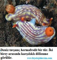 deniz tavşanında hermafroditlik