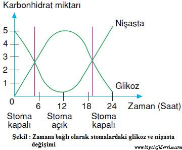stomalardaki glikoz ve nişasta miktarındaki değişim