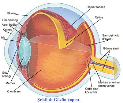 gözün bölümleri