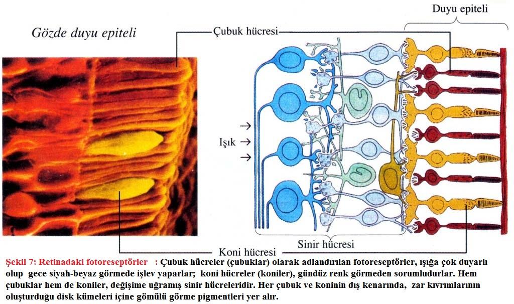 retinada fotoreseptörler