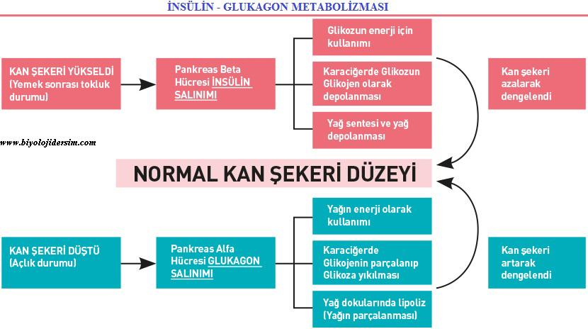 insülin vev glukagon metabolizması