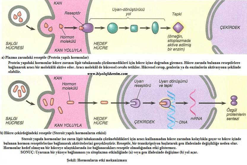hormonların çalışma mekanizması