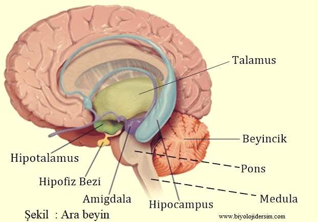 ara beyin talamus