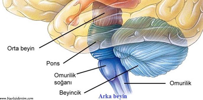 arka beyin