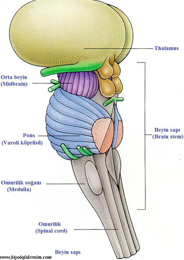 beyin sapı
