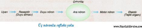 üç nöronlu refleks yayı