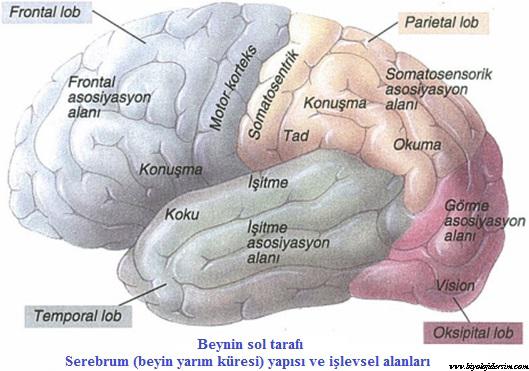 insan beyninin işlevsel alanı