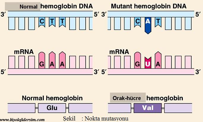 gen mutasyonları