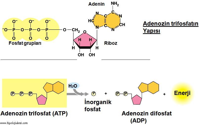 ATPnin yapısındaki moleküller