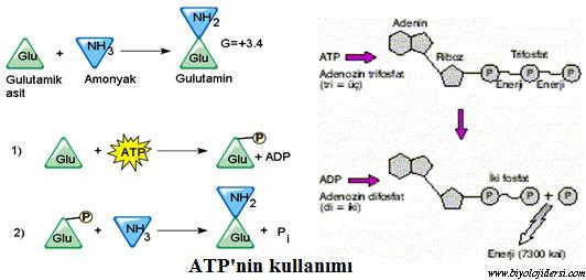 ATPnin nasıl kullanılır