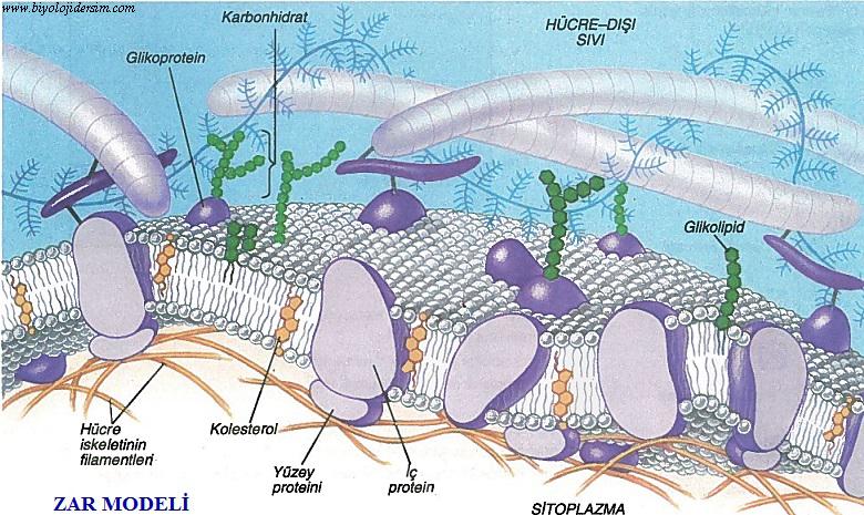 hücre zarı yapısı