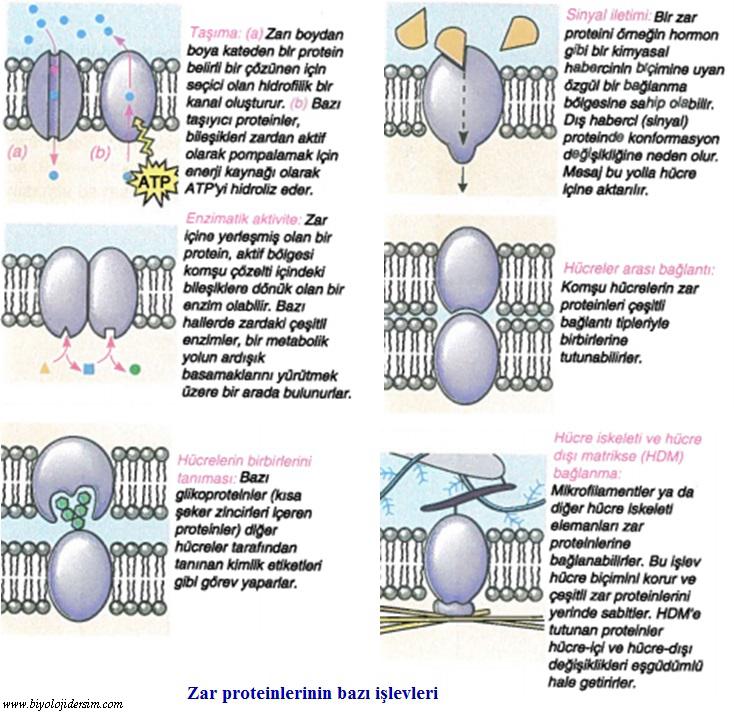 zar proteinleri