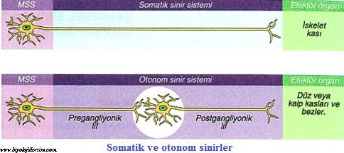 somatik sinirler ve otonom sinirler