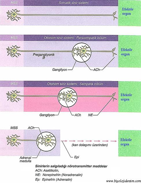 sinirlerin salgıladığı nörotensmitterler