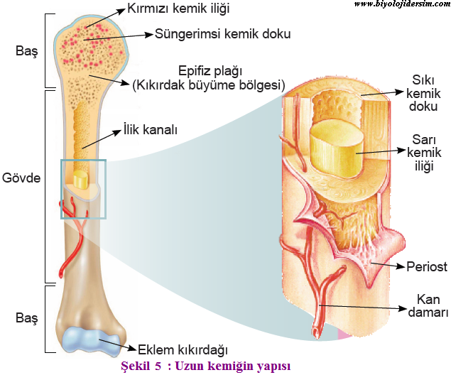 uzun kemiklerin yapısı