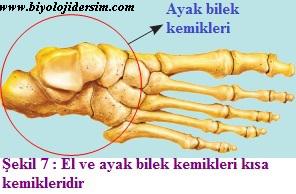 el tarak ve ayak bilek kemikleri kısa kemilerdir