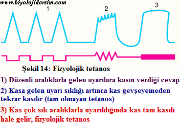fizyolojik tetanos