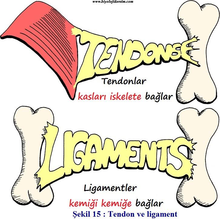 tendon ve kirişler