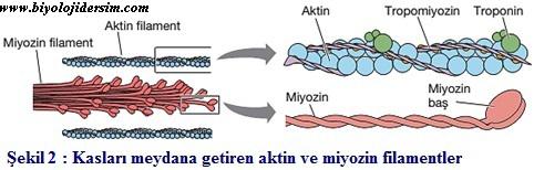 aktin ve miyozin filamentler